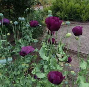 Have 1 opiumsvalmuer redigeret-1