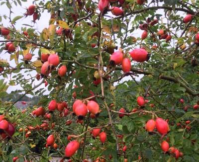 Æblerose