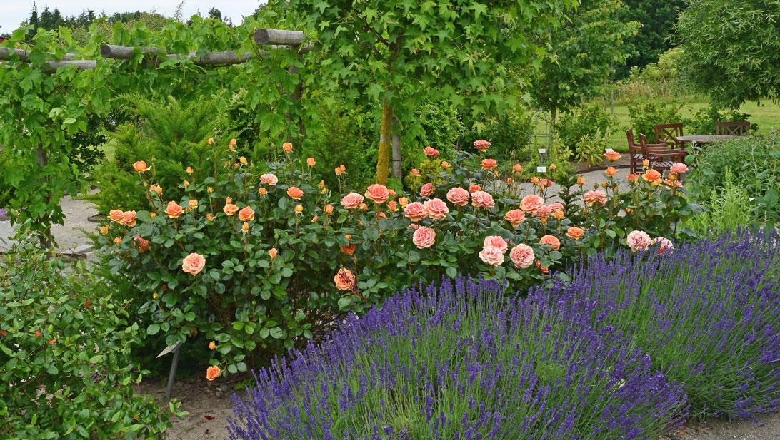 Ashram-rosen og lavendler i dufthaveafdelingen af Haven for åndedræt og kredsløb.