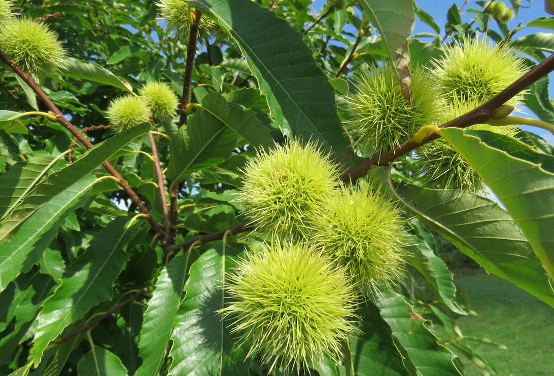 August 2018: Ægte kastanietræ i arboretet mellem Haven for åndedræt og kredsløb og Haven for urin- og kønsveje.