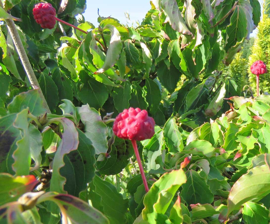 18. september 2018: Korea Kornel (Cornus chinensis) med frugt i Haven for urin- og kønsveje.