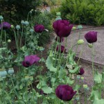 Opiumsvalmuer i Haven for åndedræt og kredsløb.
