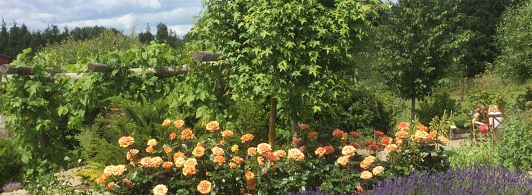 Tequila Sunrise-rose og lavendler i Haven for åndedræt og kredsløb.