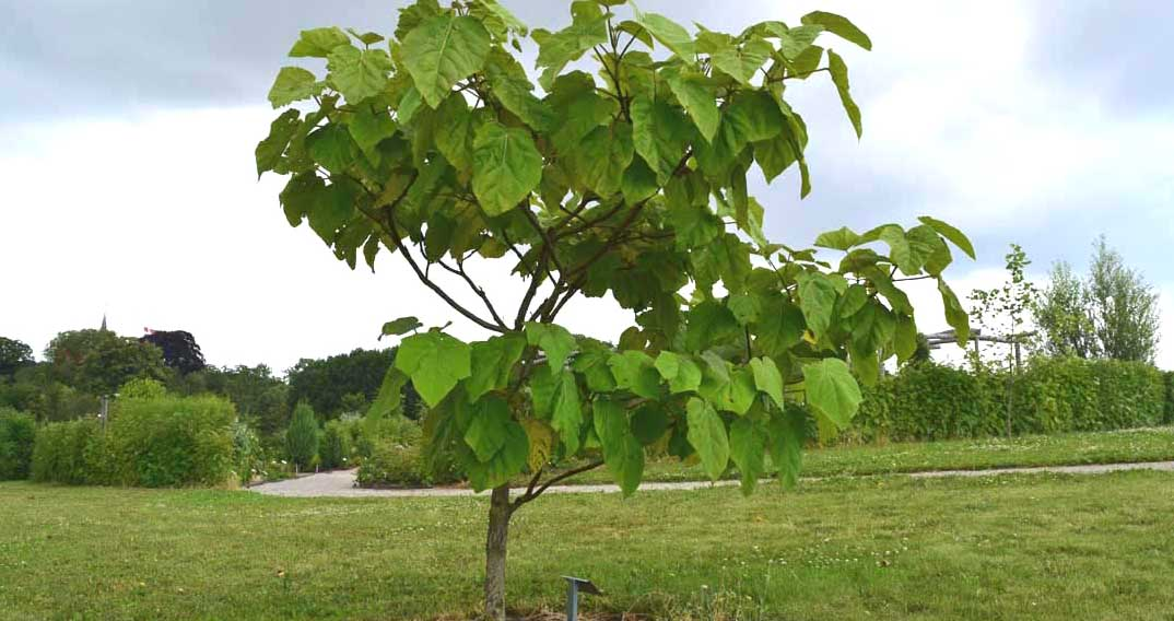 Kejsertræ
