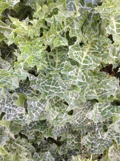 Marietidselblade med det karakteristiske hvide mønster