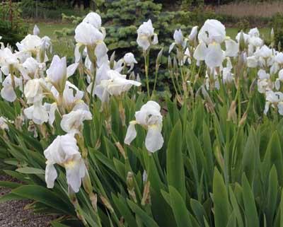 Violrod (Iris)