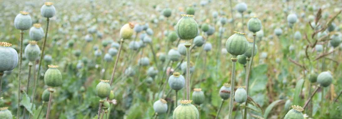 Opiumsvalmuer i frøstand