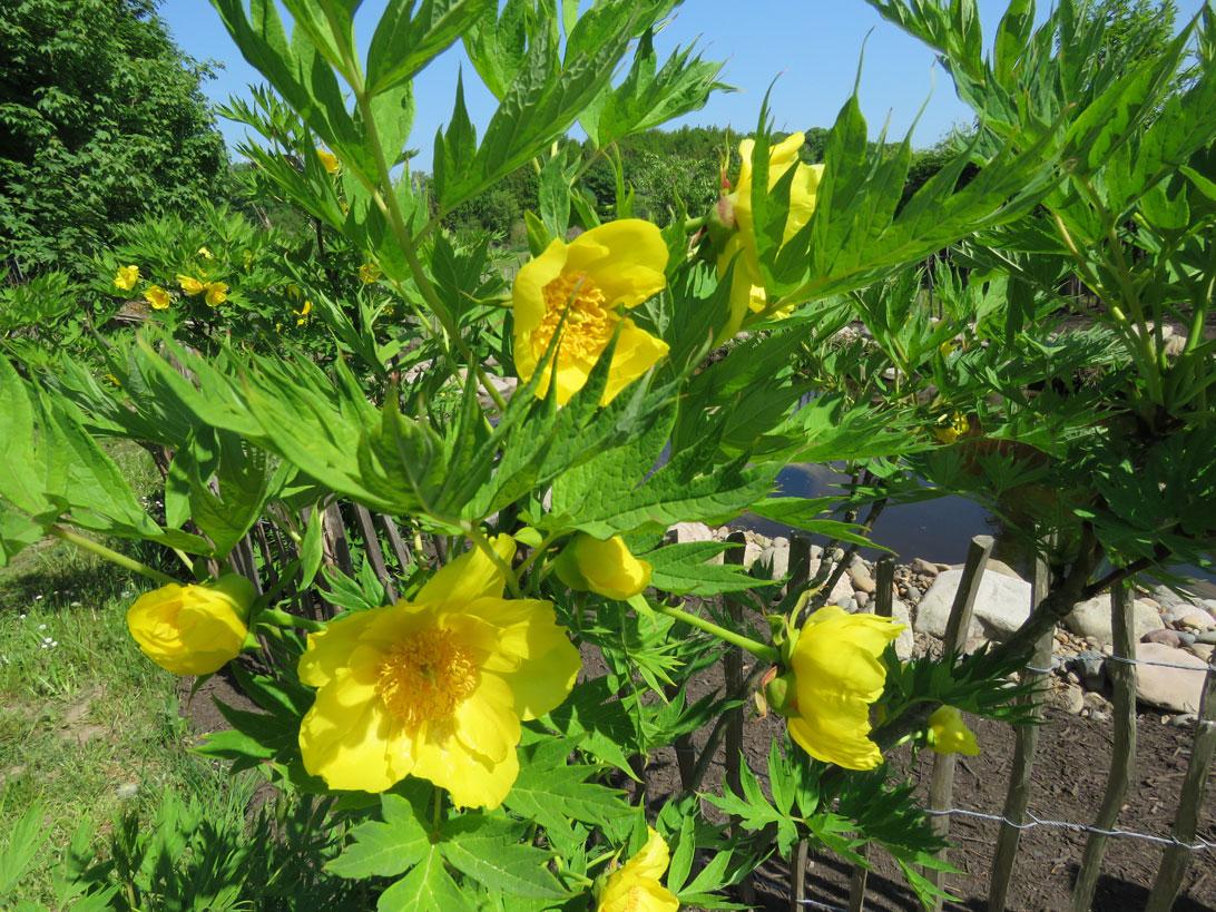 Foråret 2018: Træpæon (Peonia ludlowii) ved opsamlingsdammen neden for Haven for urin- og kønsveje.
