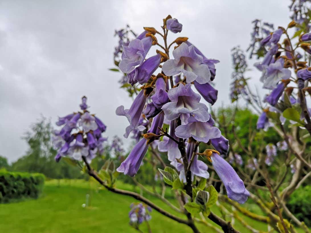 Kejsertræ i fuld blomst i Medicinhavernes arboret, hvor der er to træer - et på hver sin side af stien mellem Haven for urin- og kønsveje og Haven for fordøjelse, stofskifte og ernæring.