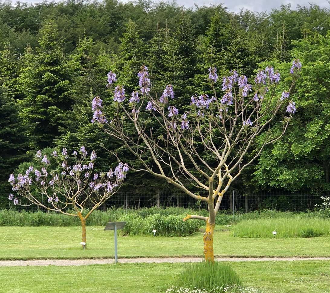 Kejsertræerne i fuldt flor.