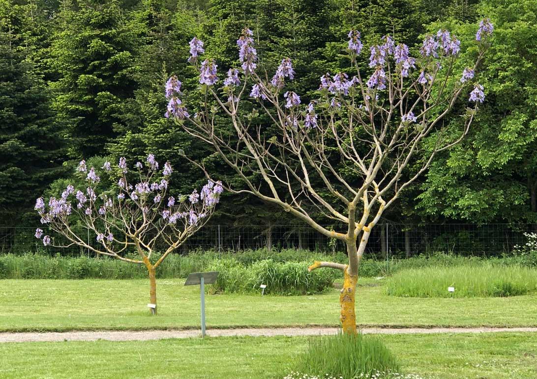 Foråret 2019: Kejsertræer i området mellem Haven for urin- og kønsveje og Haven for fordøjelse, stofskifte og ernæring.