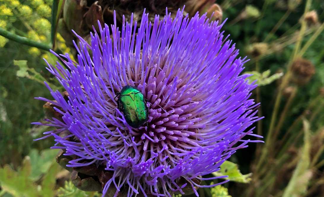 August 2019: Grøn guldbasse nyder sommeren i en artiskok i Haven for fordøjelse, stofskifte og ernæring.