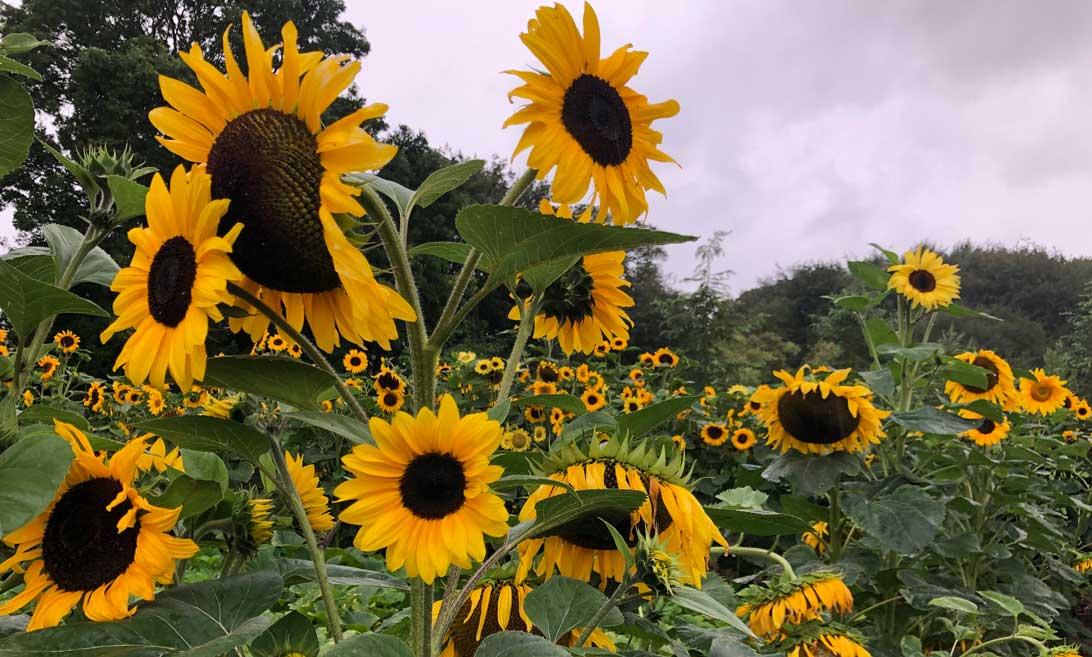 1. september 2019: Et par medlemmer af havegruppen har sået en solsikkelabyrint i området syd for Haven for infektioner og Hildegards Have.Solsikker