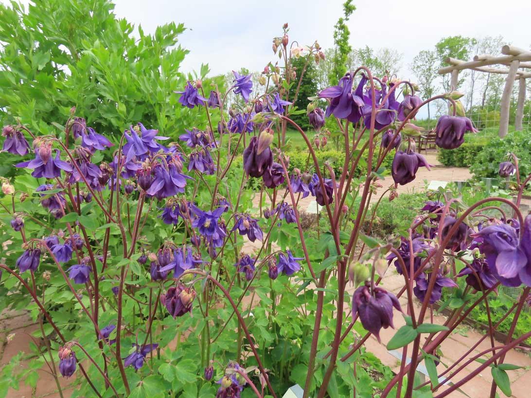 1. juni 2021: Akelejer i Haven for infektioner og Hildegards Have.