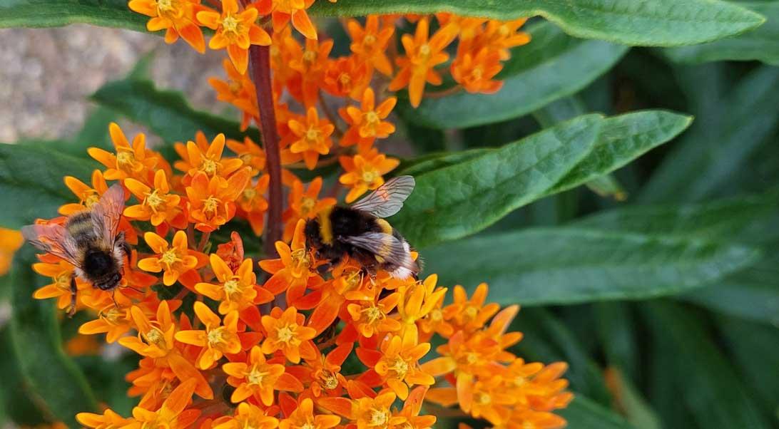 23. juli 2021 Der suges nektar på planten orange silkeplante