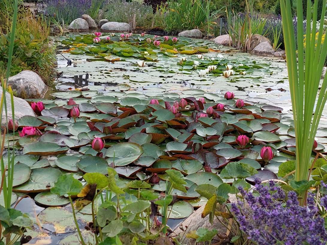 23. juli 2021 Åkanderne i dammen i Haven for nervesystem og bevægeapparat.