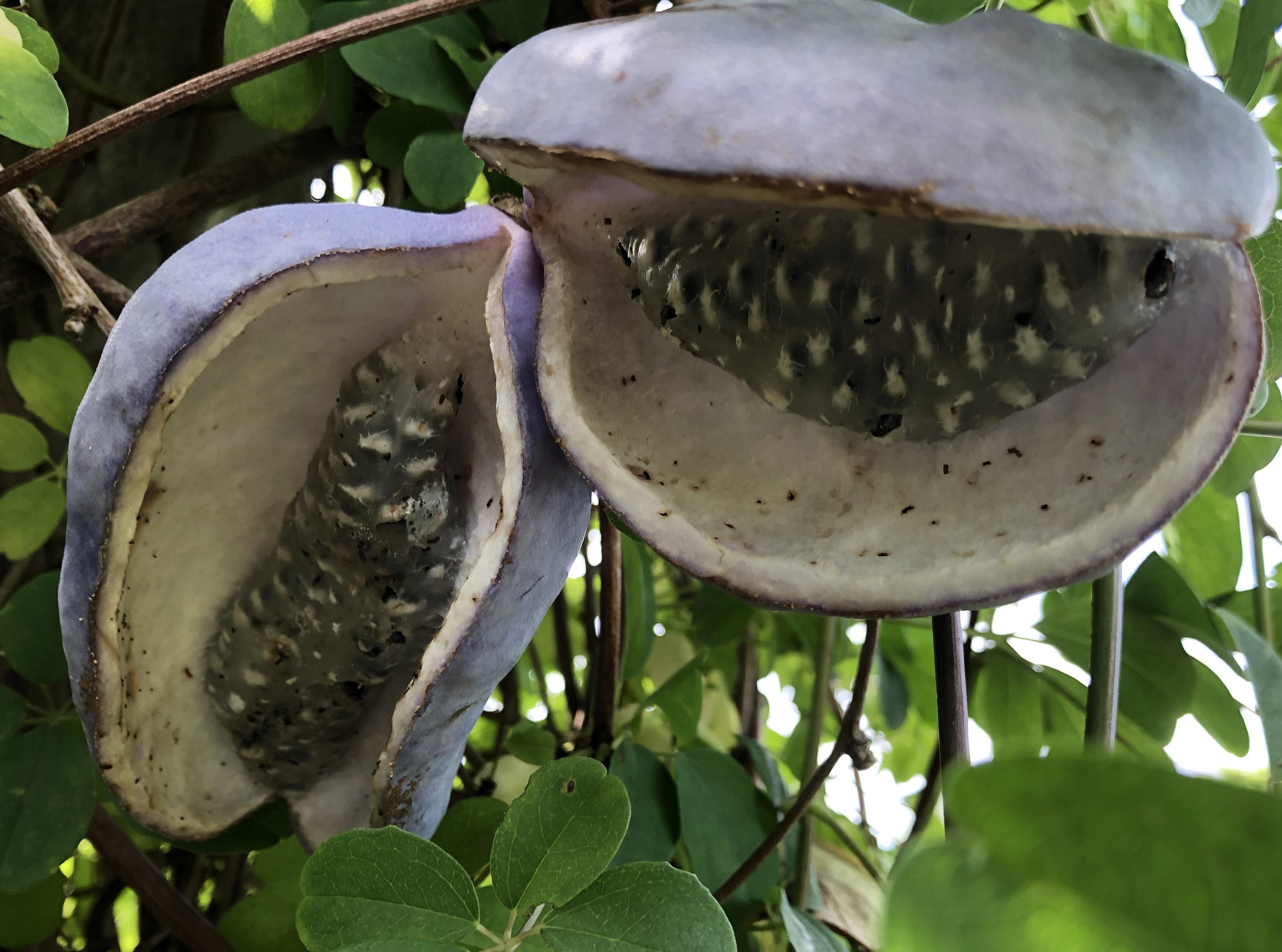 14. september 2021 Akebiaens frugter i Haven for urin- og kønsveje.