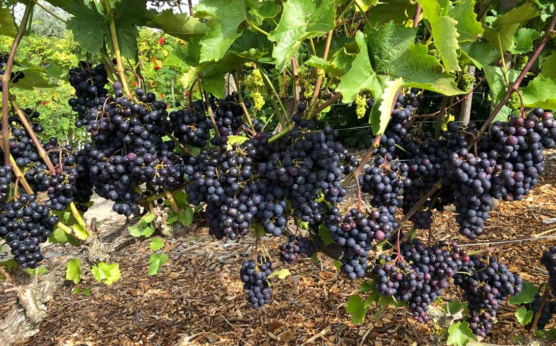 14. september 2021: De blå druer i Haven for urin- og kønsveje.